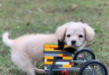 Cãozinho Gracie usando sua cadeira de rodas feita de Lego, que ganhou de Dylan, um garoto de 12 anos. Foto - Facebook.