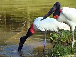 Tuiuiú é a ave símbolo do Pantanal. Foto - Governo MS