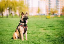 Olfato do cão pastor belga de Malionis está sendo usado para diagnosticar pacientes com Covid-19. Foto - Redes Sociais