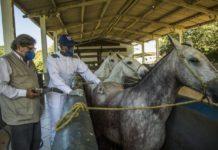 Pesquisadores desenvolveram soro com anticorpos de cavalo que pode revolucionar tratamento da Covid. Fotos - Instituto Vital Brasil - Divulgação